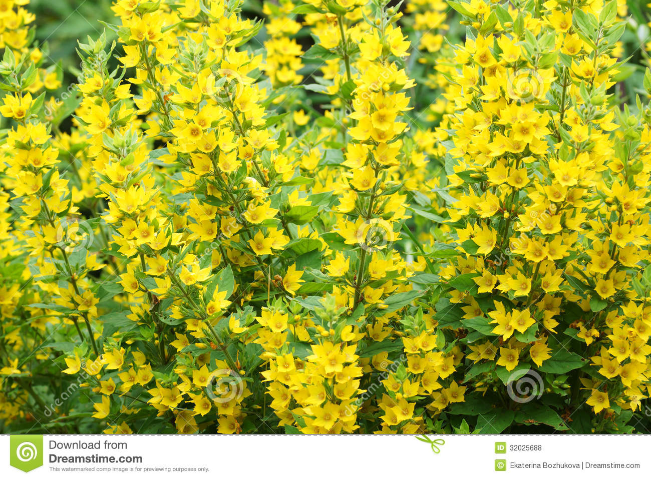 Bush with yellow flowers stock photo image of decoration 32025688 bush with yellow flowers mightylinksfo Images