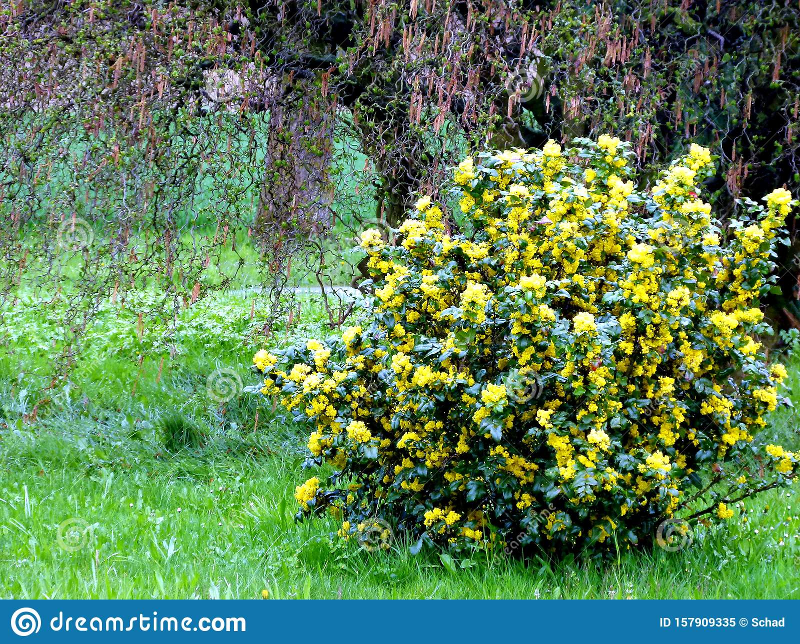 Meadow With Yellow Flowering Bush And Hazel Tree In The Background