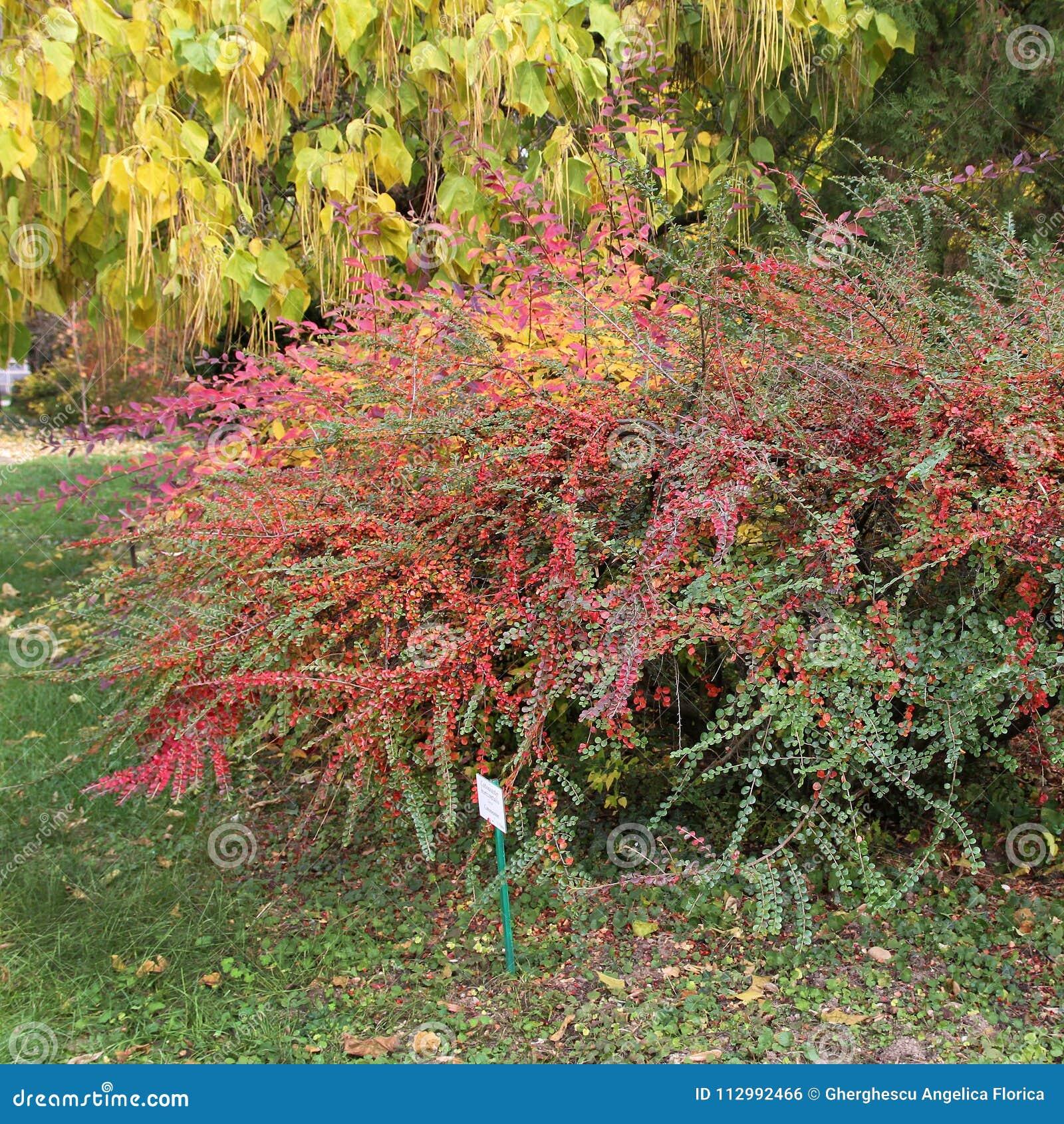 Bushes at the botanical garden. Colorful Cotoneaster horizontalis