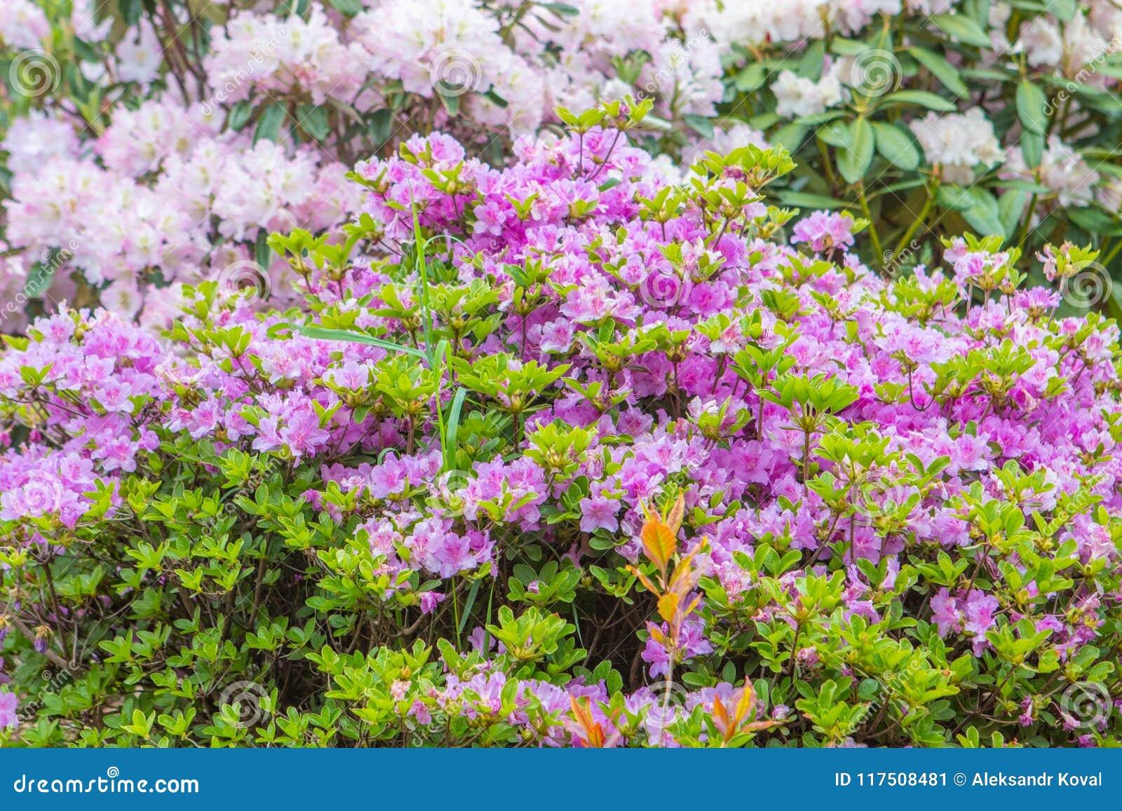 Bushes colorful spring flowers stock image image of bouquet bushes colorful spring flowers spring theme botanical garden mightylinksfo