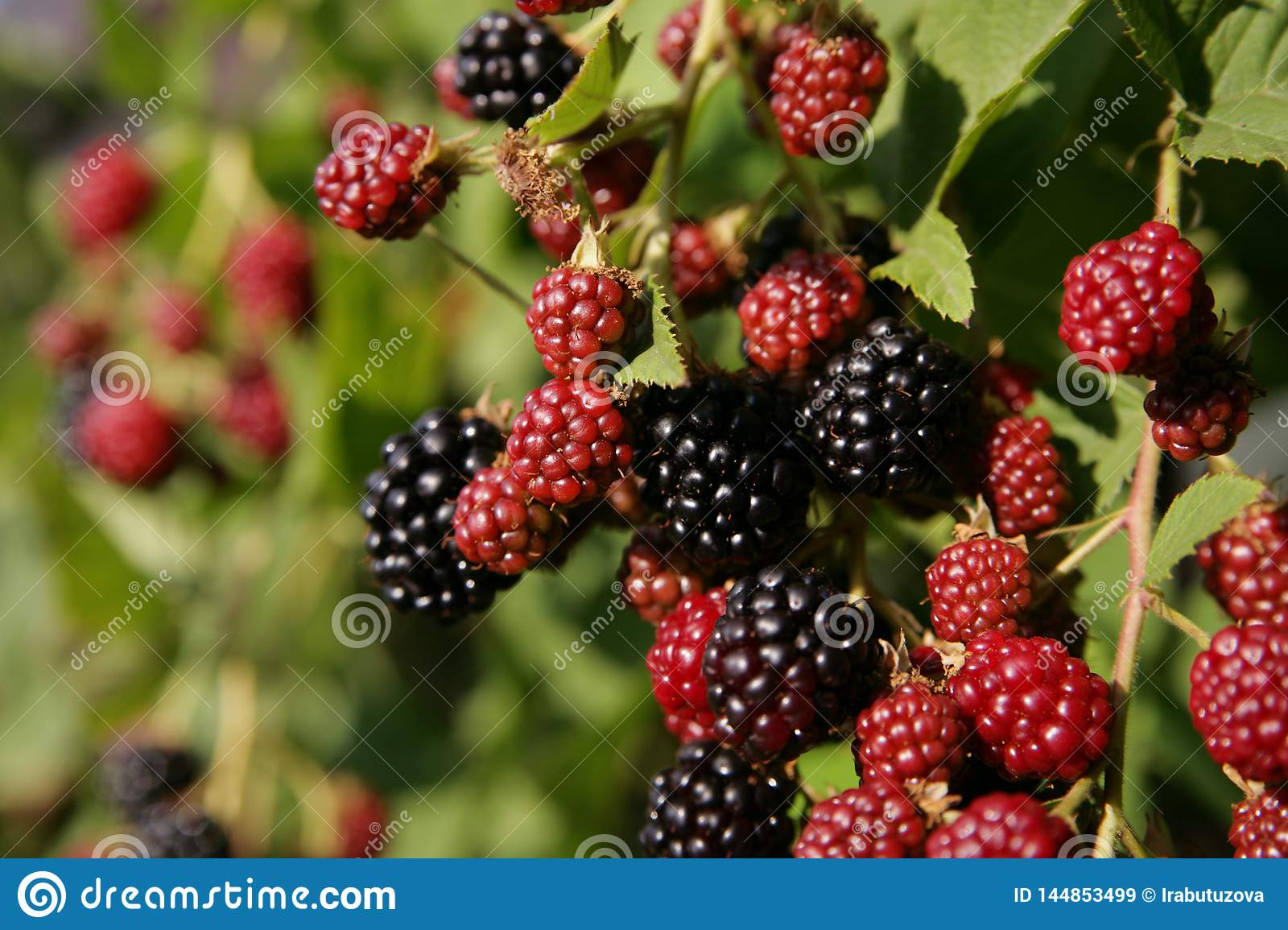 On the bushes grows juicy ripe and immature blackberries