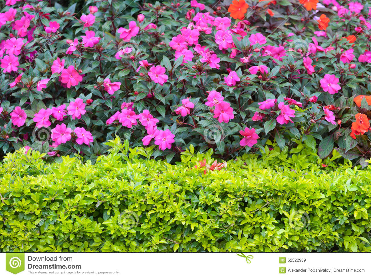 Bushes With Pink Flowers Stock Image Image Of Indochina 52522989