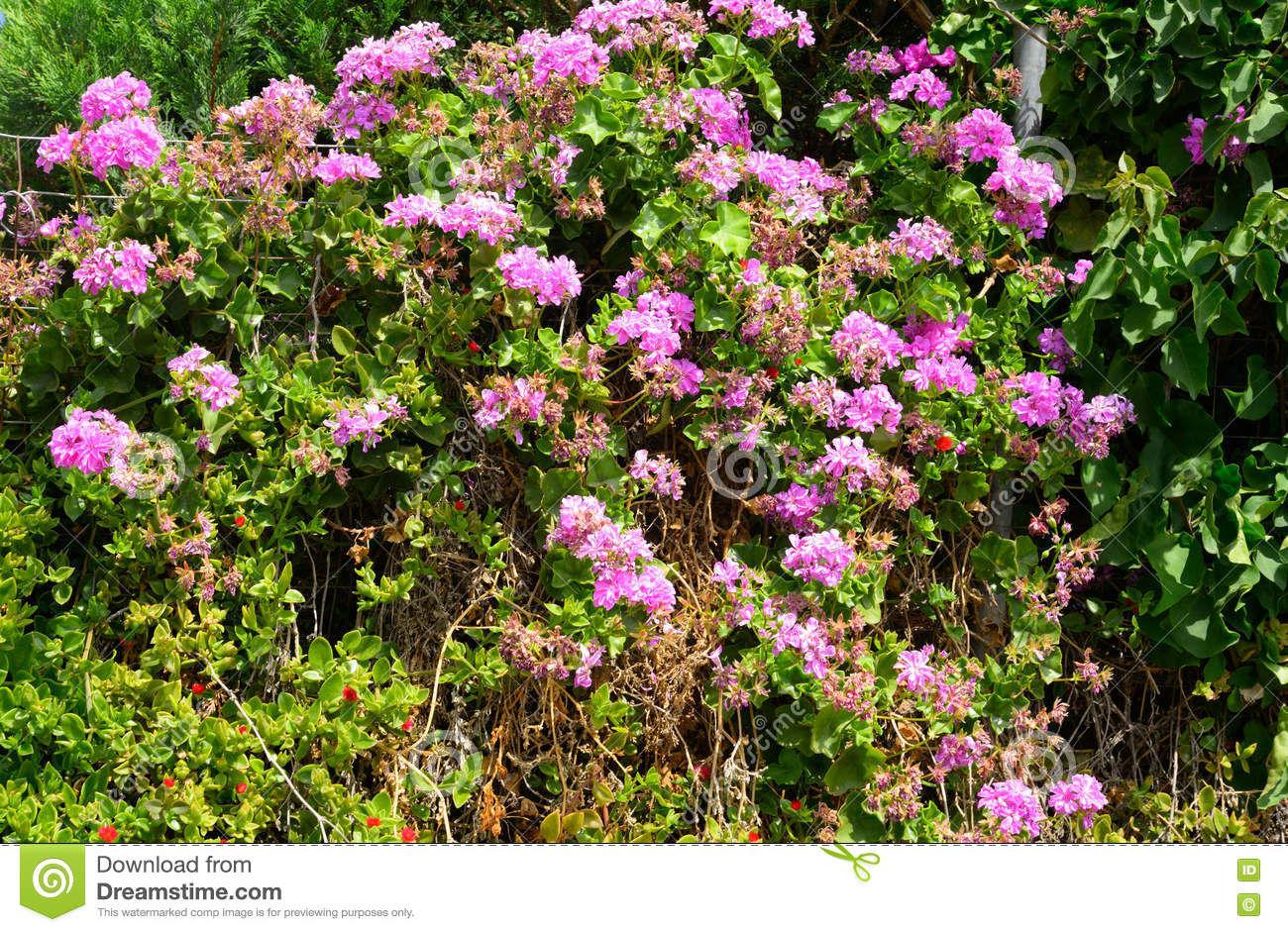 Bushes With Pink Flowers Stock Image Image Of Decorative 73435921