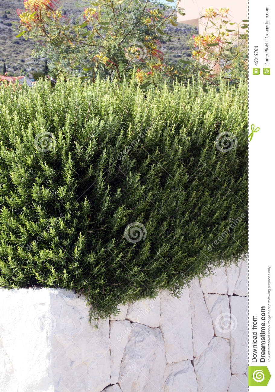 Bushes of rosemary stock photo. Image of ornamental, bushes - 43819784