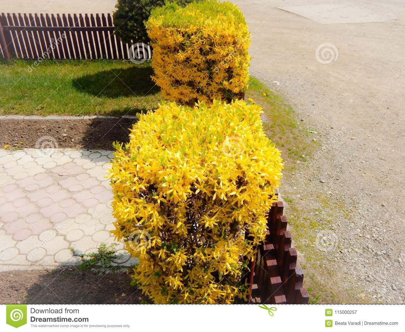 Bushes with yellow flowers with a walkway stock image image of download bushes with yellow flowers with a walkway stock image image of fragility road mightylinksfo