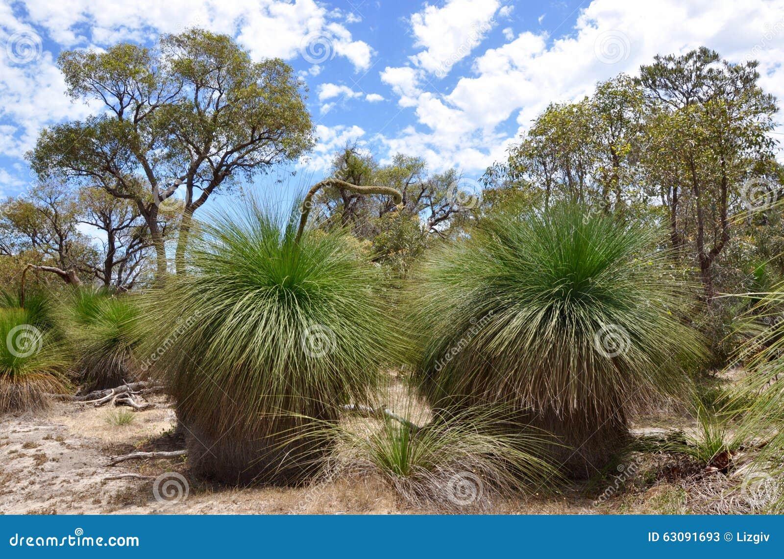 Download Bushland Avec Les Arbres D'herbe épineux : Australie Occidentale Image stock - Image du buisson, végétation: 63091693