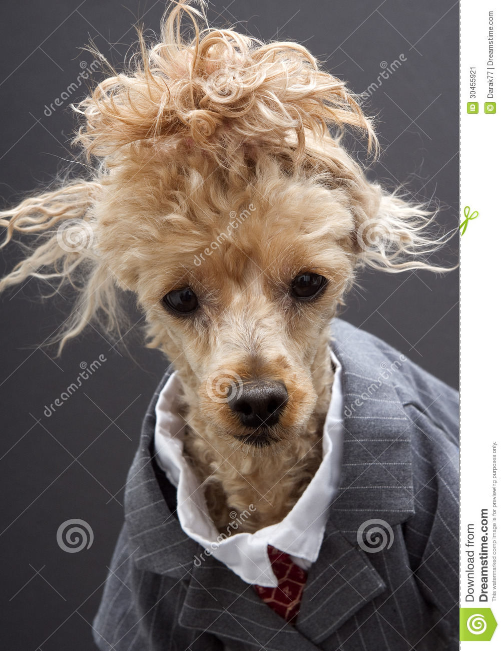 Strange Business Poodle With Crazy Hair Stock Image Image Of Pets Natural Hairstyles Runnerswayorg