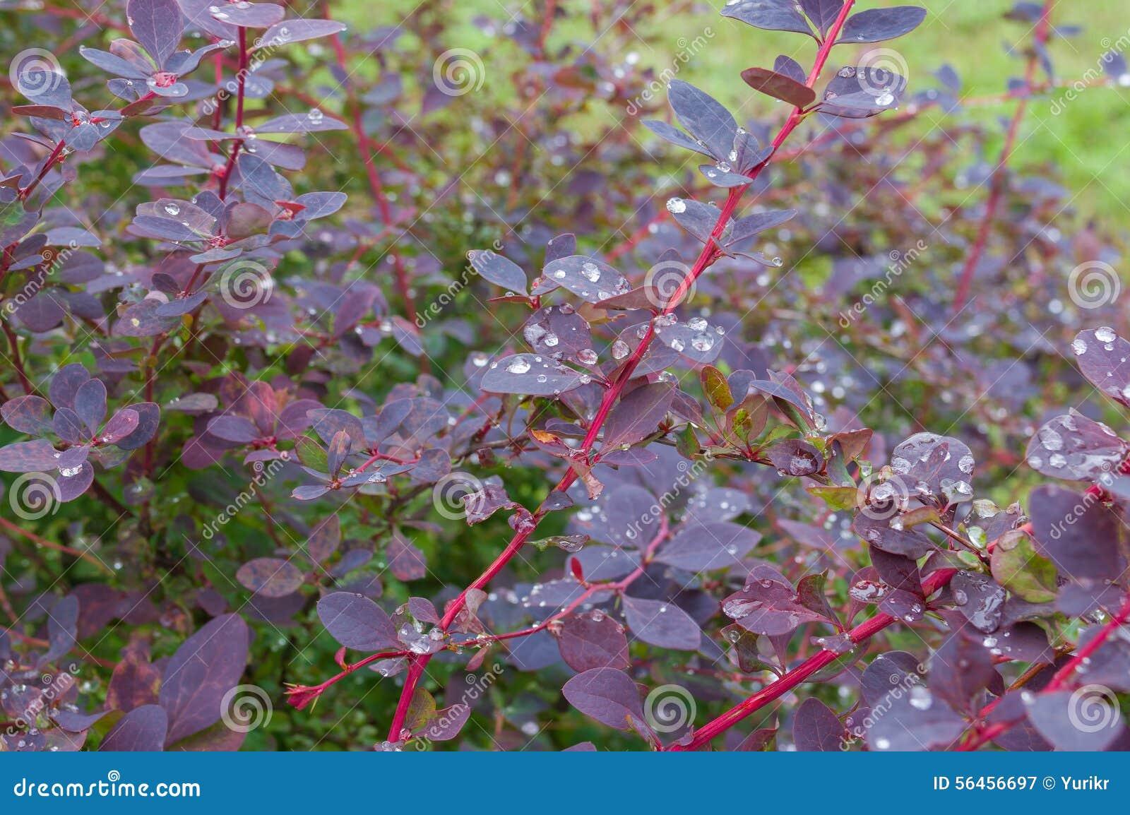 Buske av barberryen efter regn