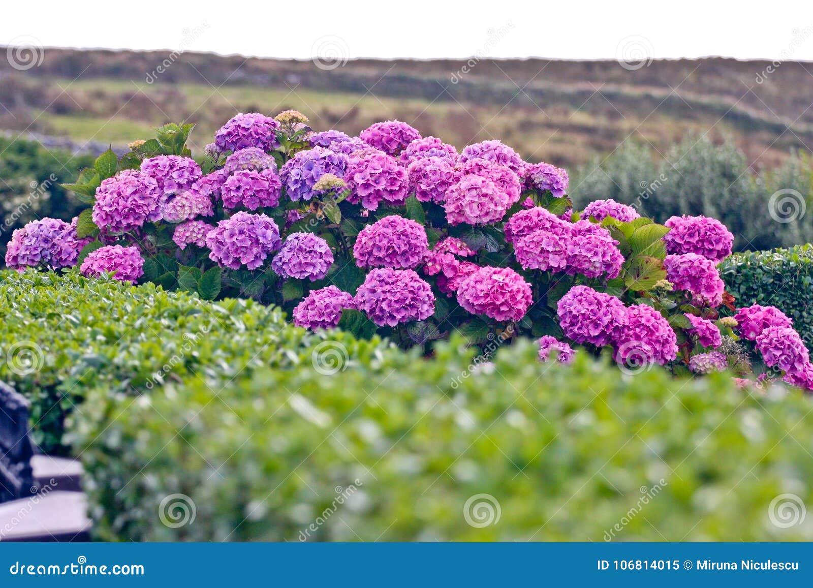 Buske av purpurfärgade vanlig hortensiablommor