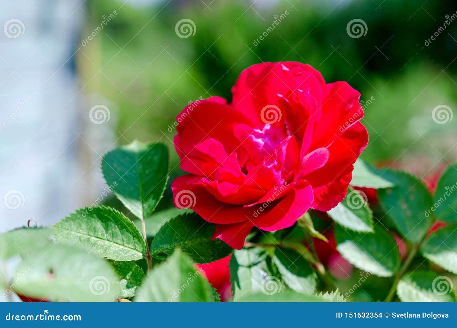 Buske för röda rosor på grön trädgårdbakgrund