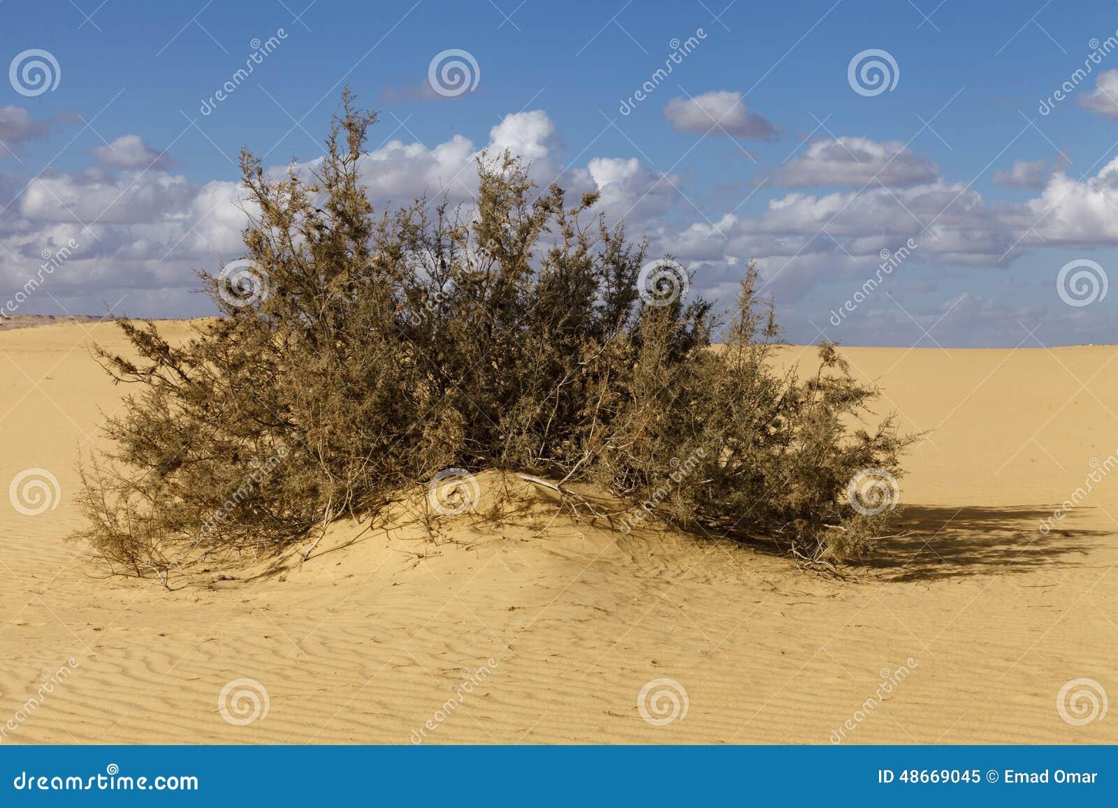 Buske i öknen