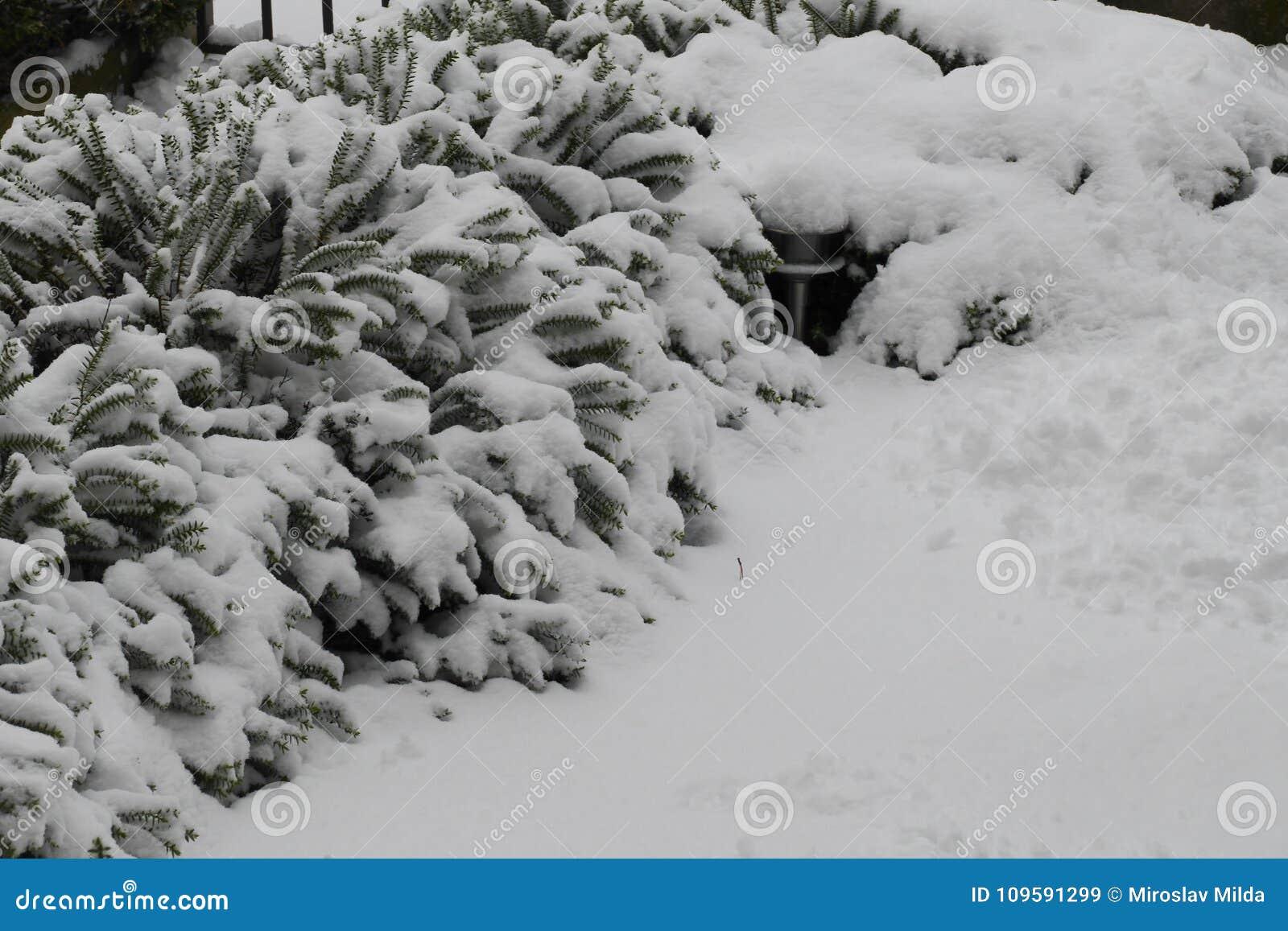 Buske under lott av snö