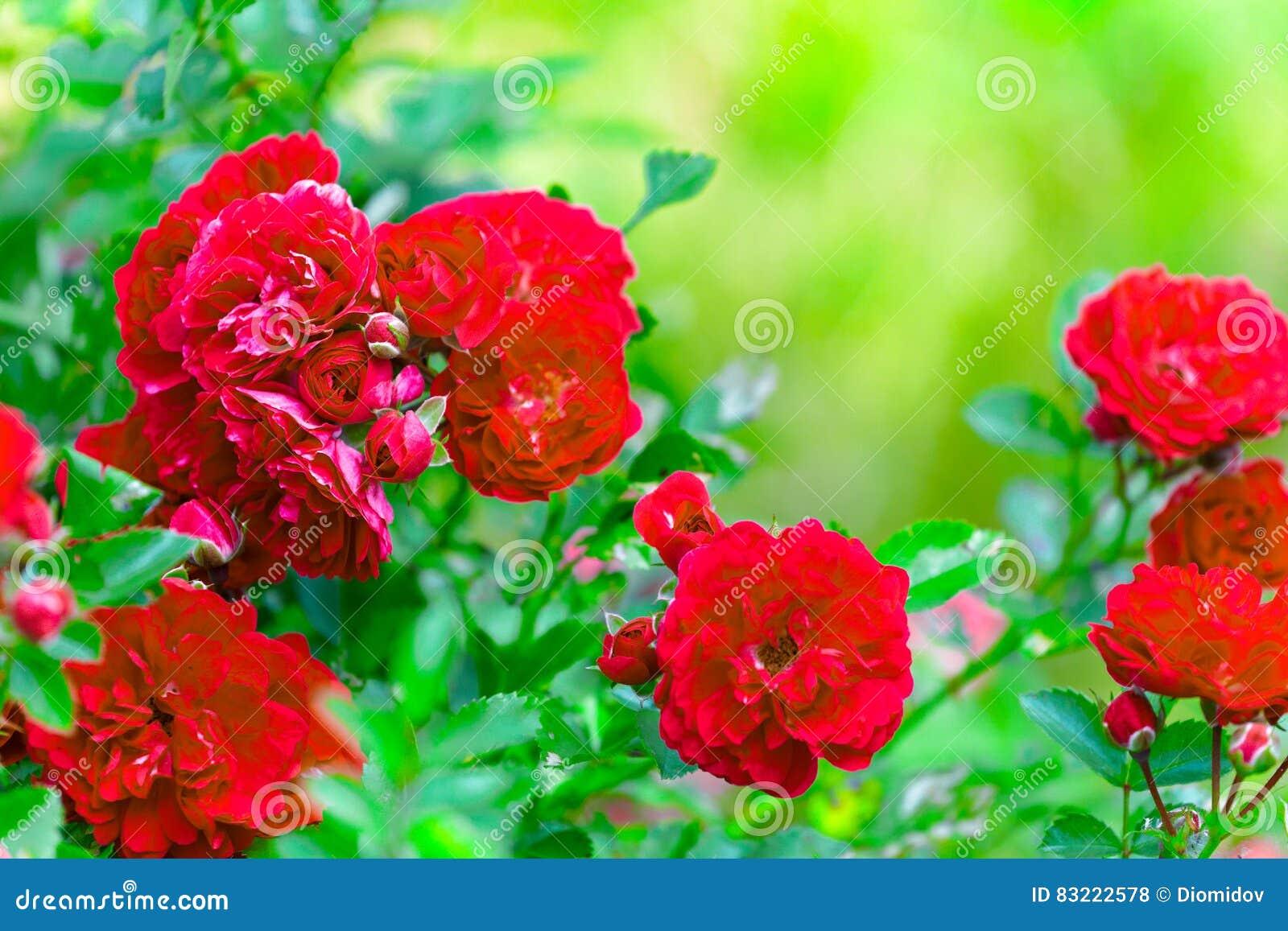 Busken av ljusa röda rosor i trädgården på en grön bakgrund