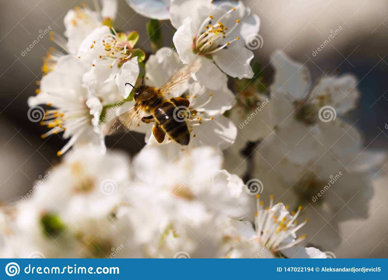 Busy bee carrieing pollen from tree flower