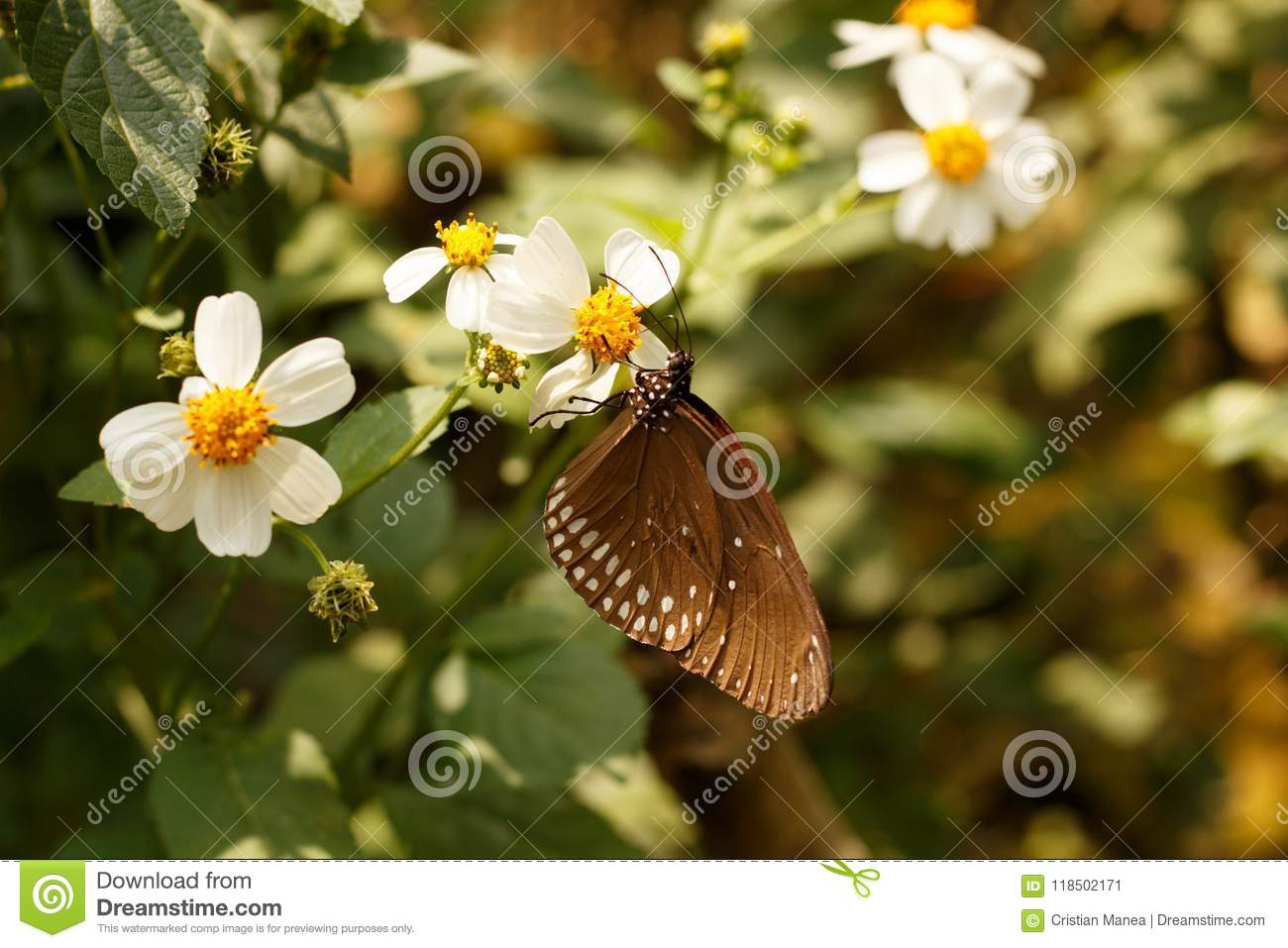 Butterfly With Brown Wings Sits On A White Flower, In Thailand Stock ...