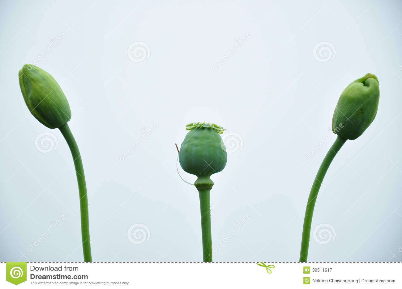 Bud of Opium