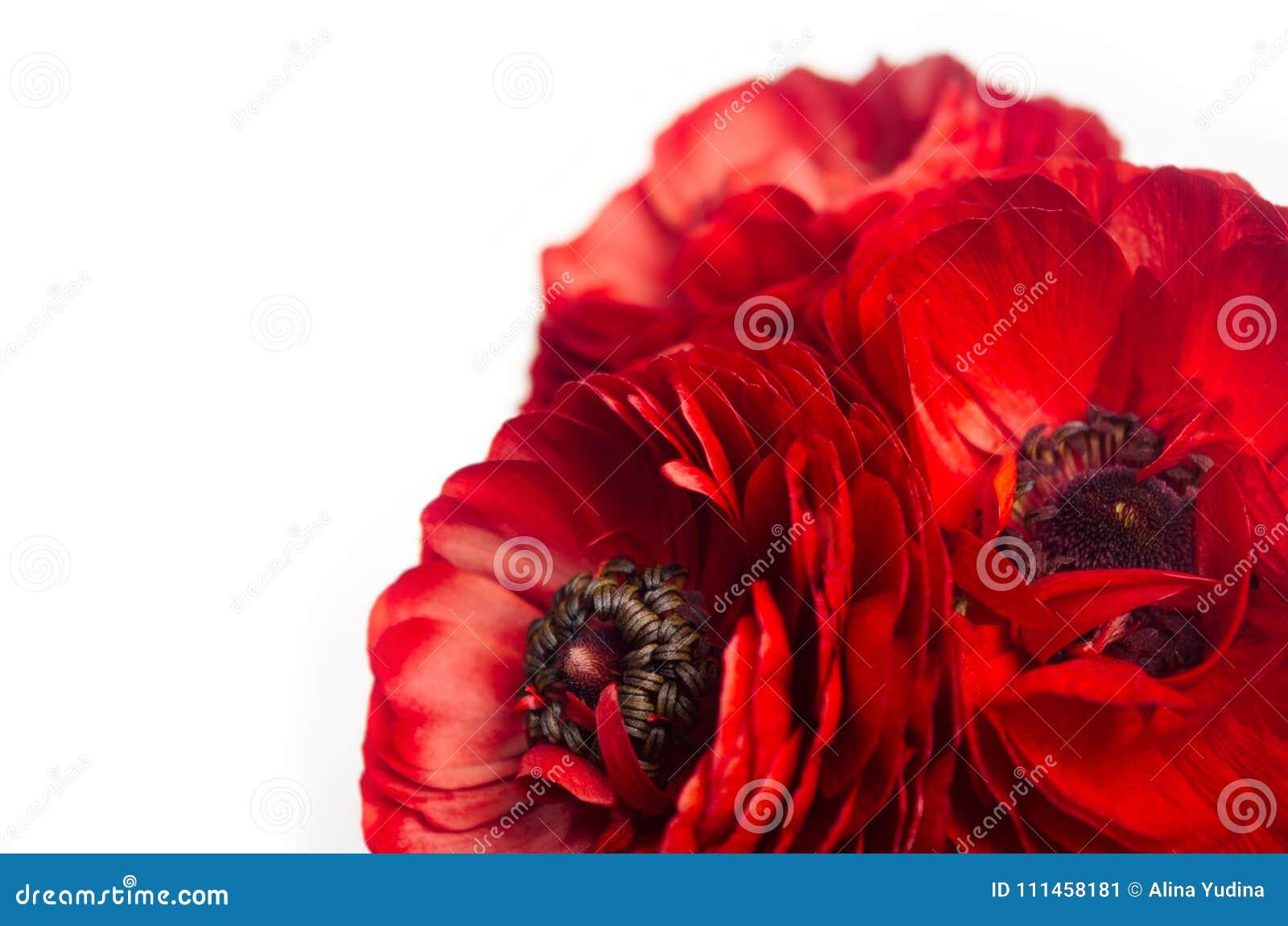 Butterblume des reichen Rotes blüht Nahaufnahme als dekorative Grenze, die auf weißem Hintergrund lokalisiert wird Eleganzfrühlin