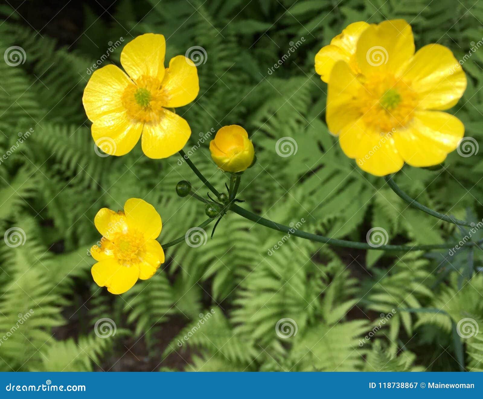 Butterblumeen in der Blüte im Frühjahr in Maine