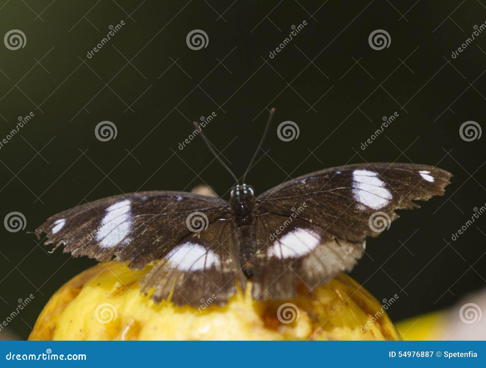 Butterffly på frukt