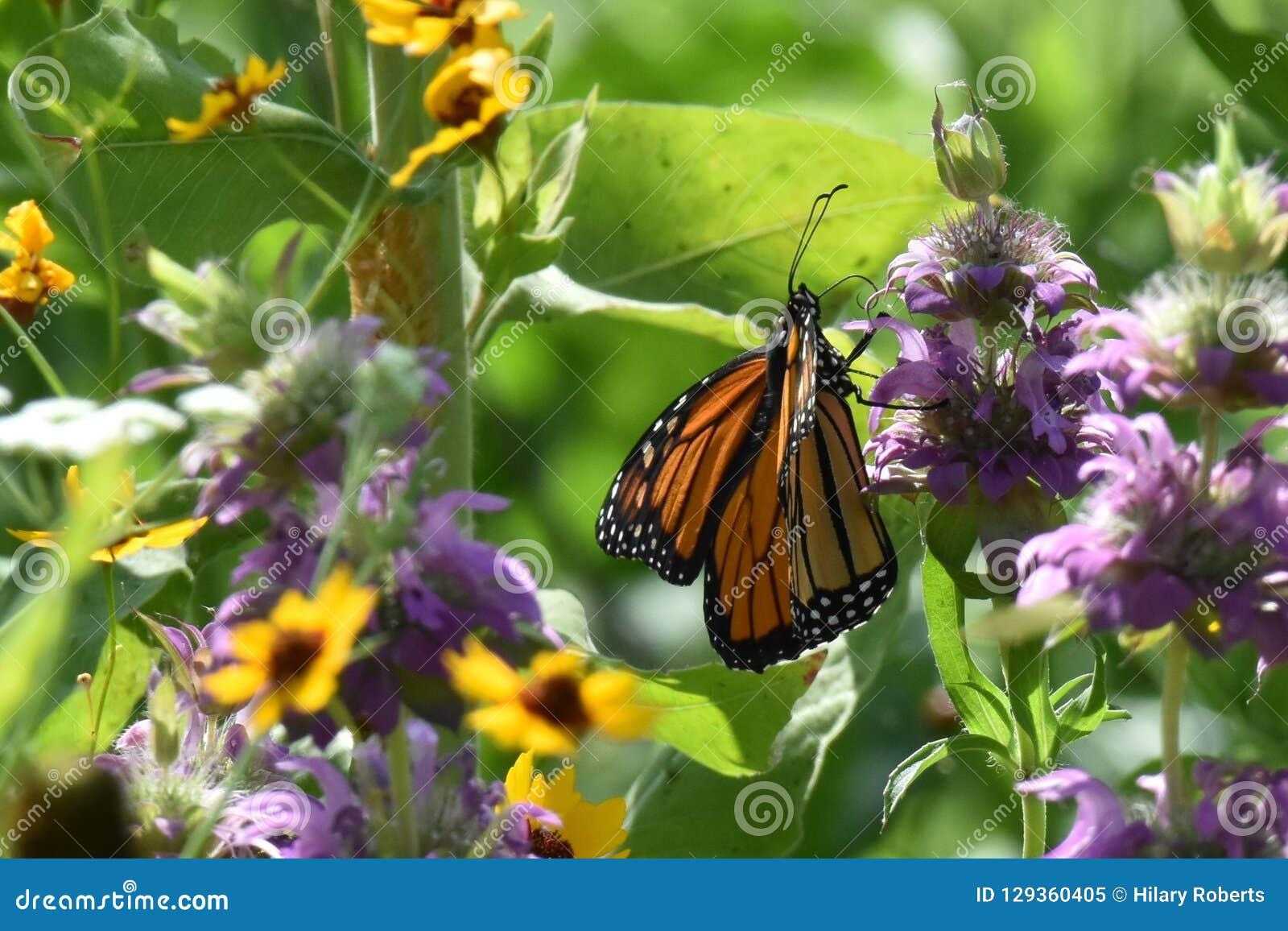 Butterfli S, het in paren rangschikken