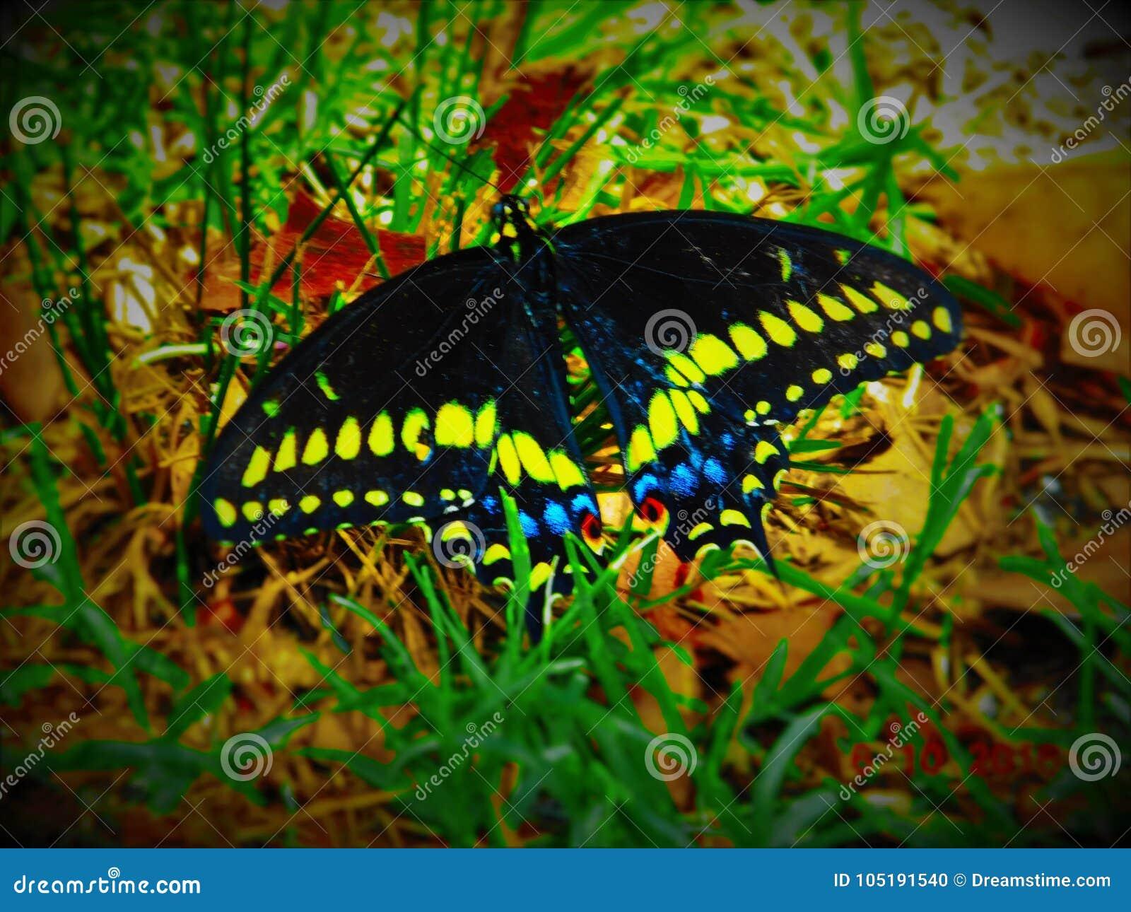 Butterflie bonito