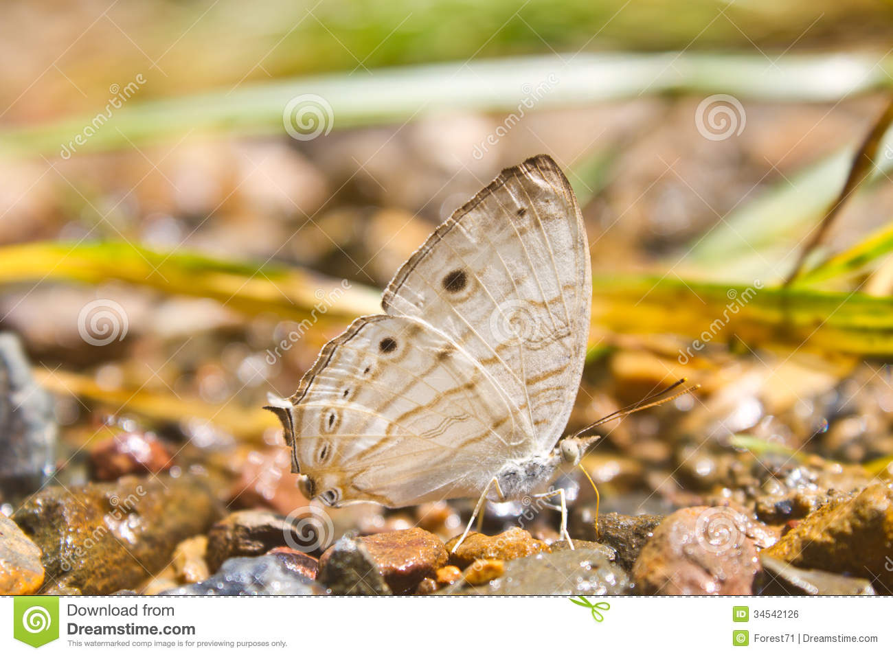 Butterflies are absorption minerals on the ground