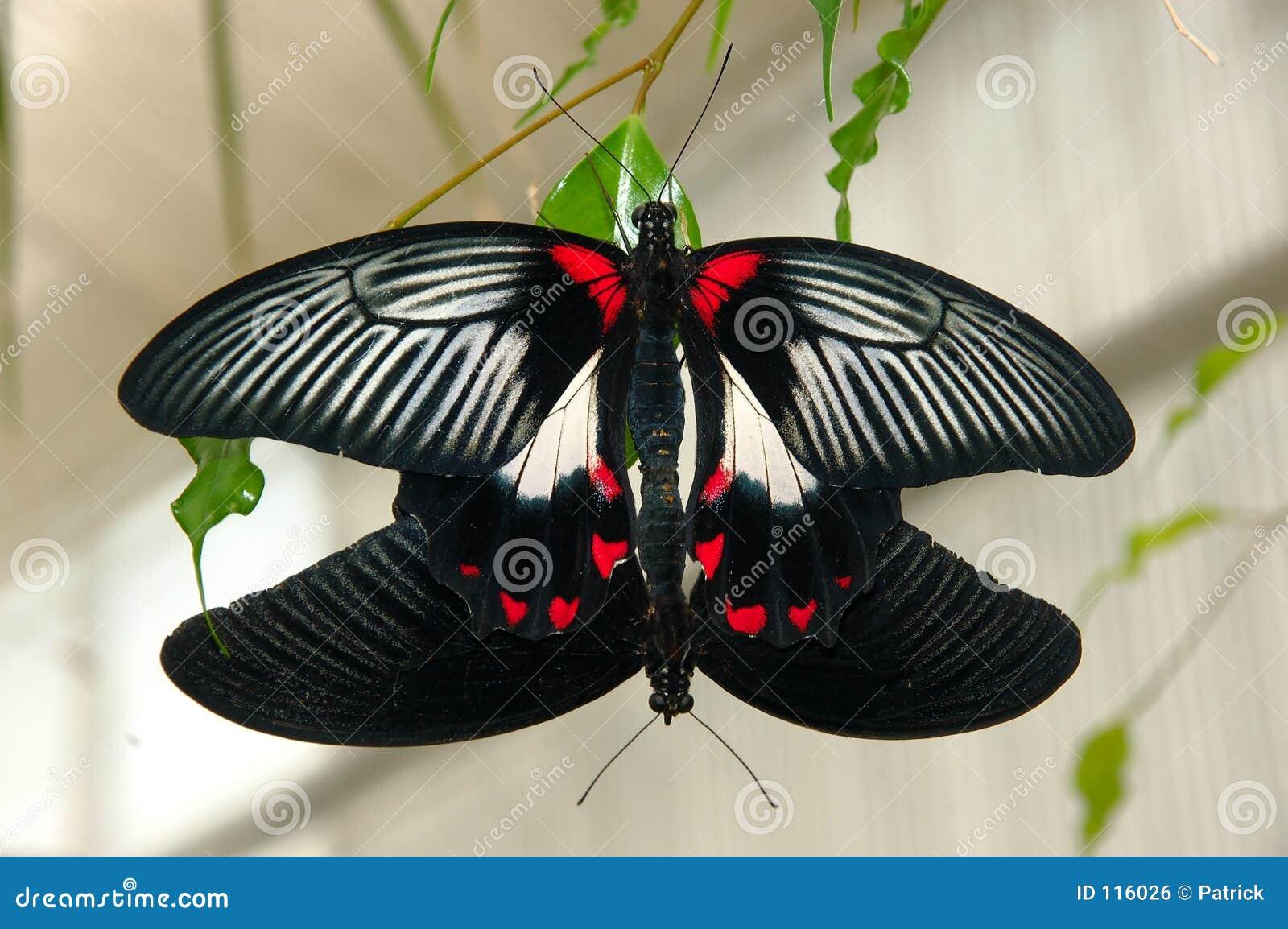 Butterflies copulating