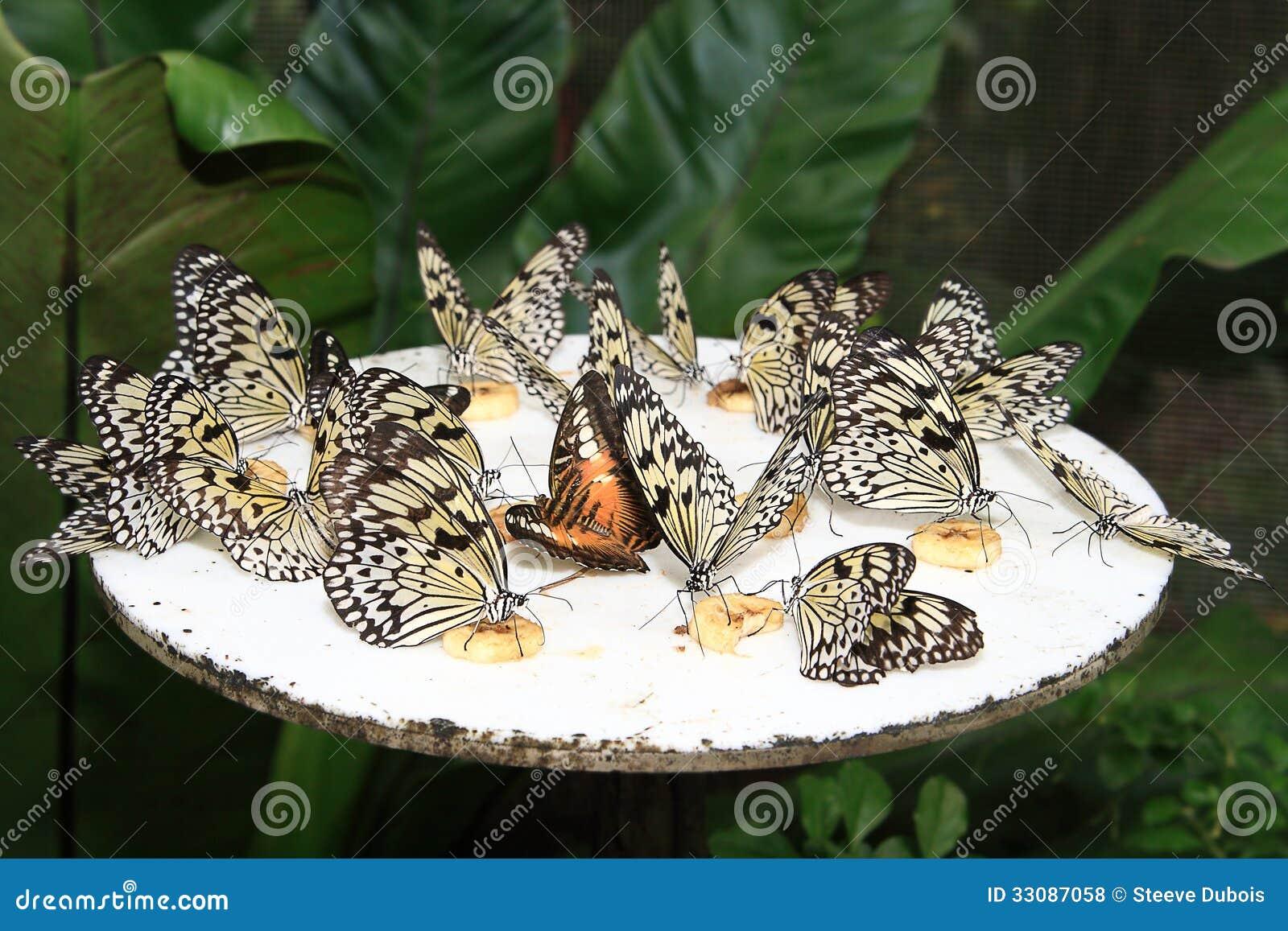 butterflies feeding on banana chunks royalty free stock