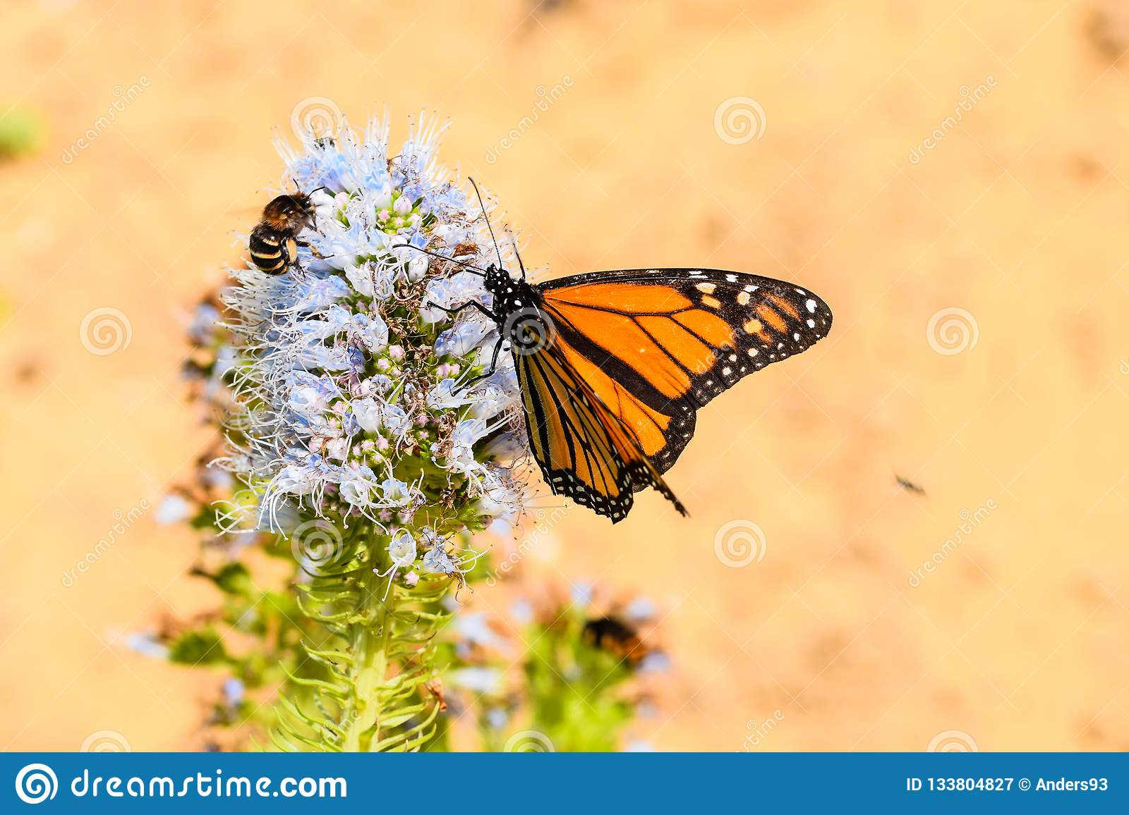 Monarch butterfly and banded bee on echium purple flower