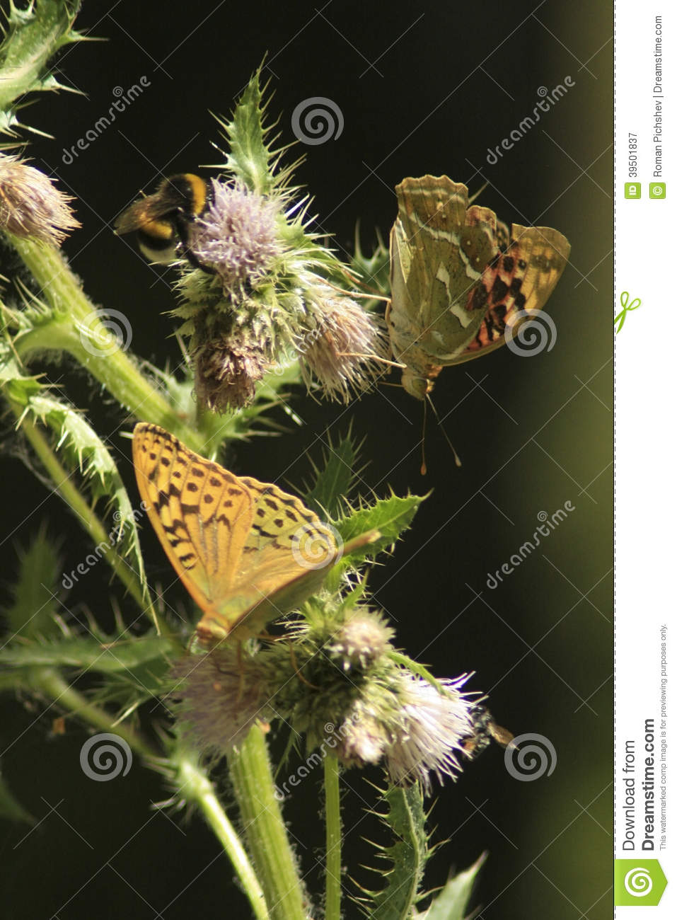 Butterflies on a prickle