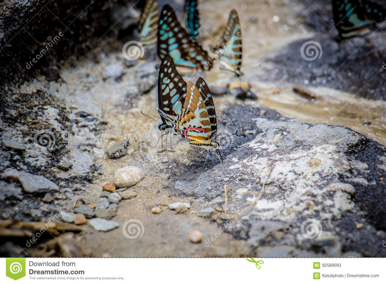 Butterflies swarm eats the minerals in the soil stock for Minerals in dirt