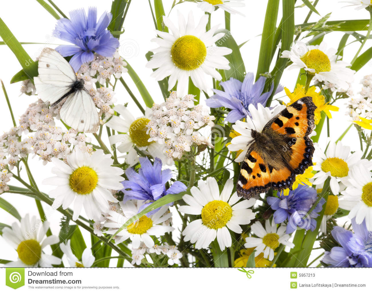chicory and butterflies watercolor painting royalty free stock