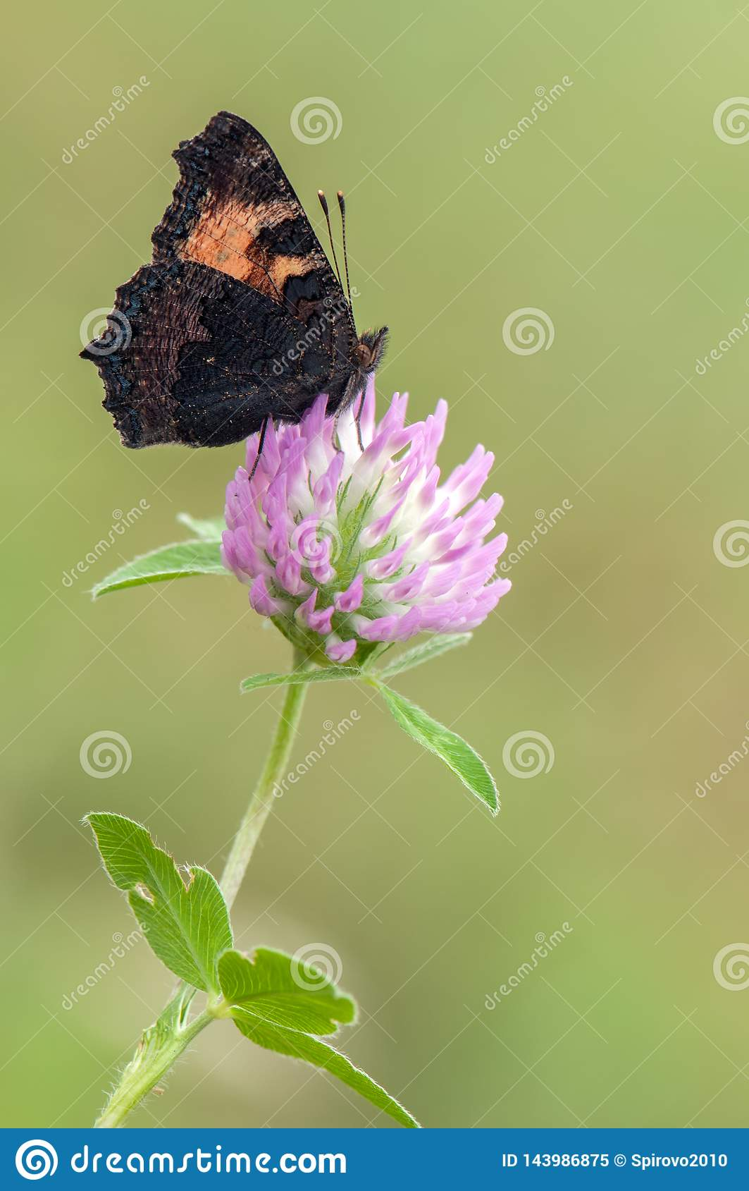 Butterfly Aglais urticae sit on a forest clover flower on a morning