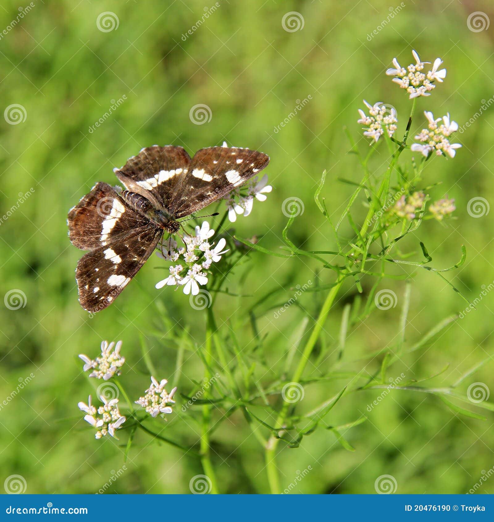 Butterfly (Araschnia levana f. prorsa)