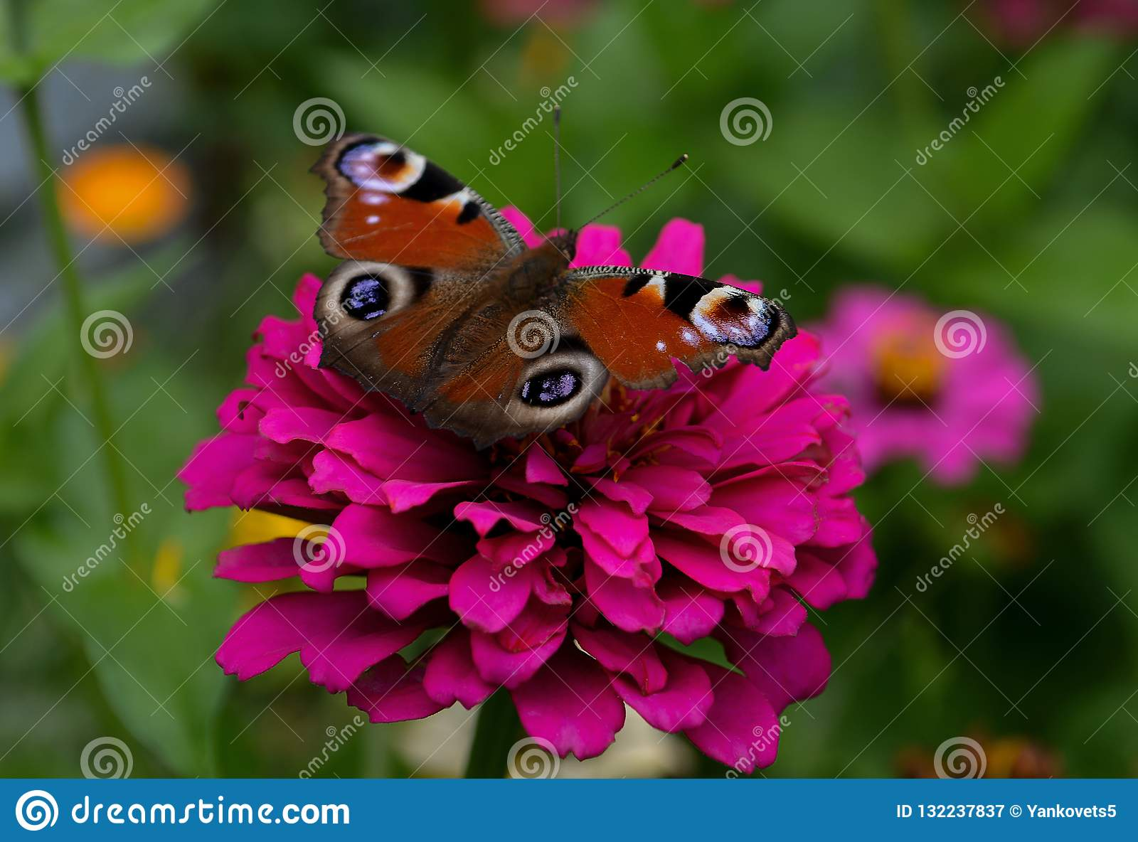 A butterfly with a beautiful bright color is sitting on a pink flower against a colored background of a garden