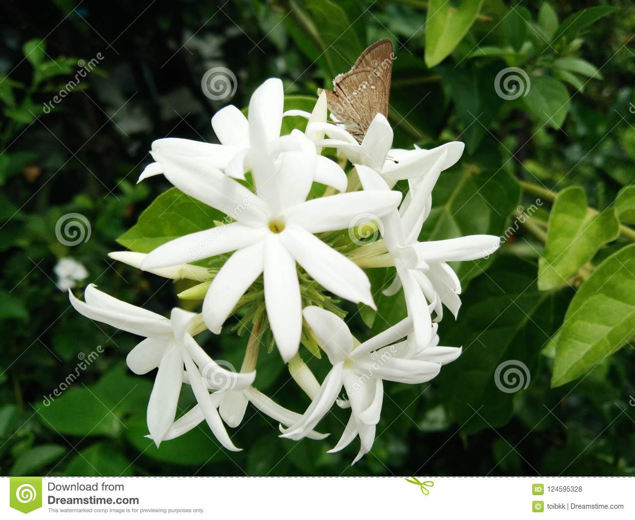 Butterfly On Blossom Jasmine Flower Bouquet Stock Photo - Image of ...