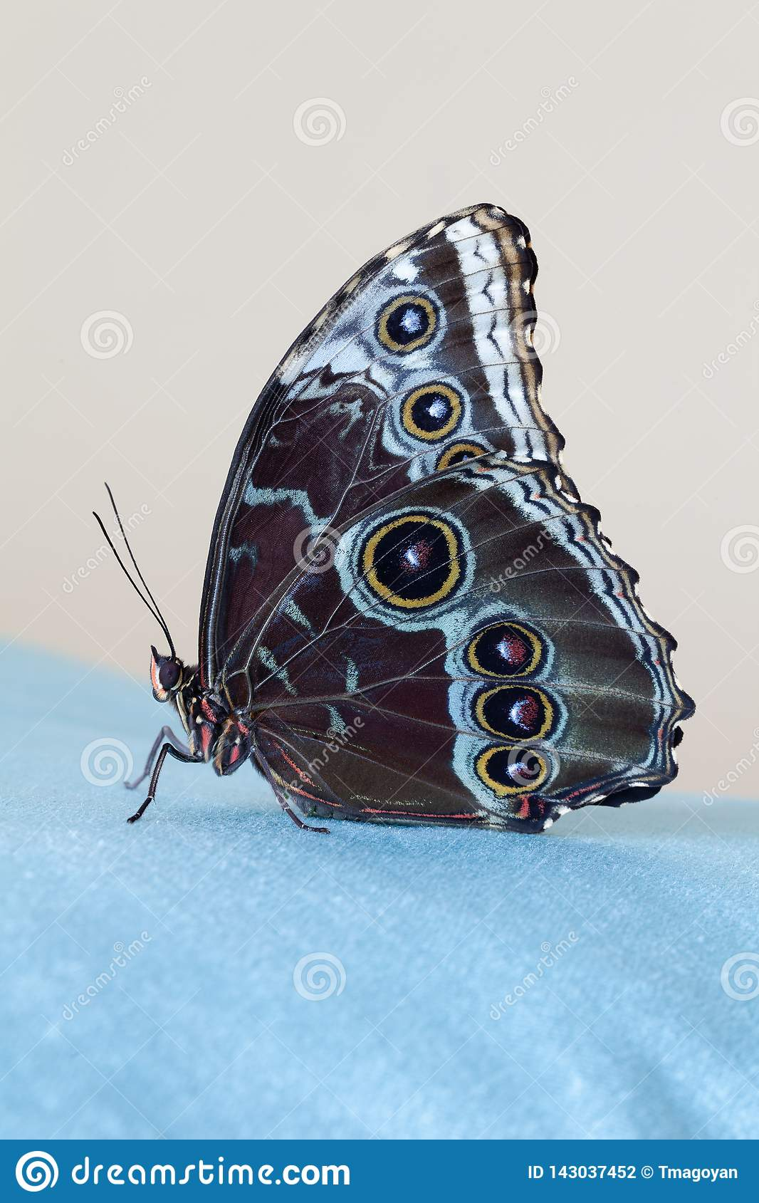 Butterfly blue morpho sitting on a blue velvet cloth, on a beige backgound. Closeup. Macro photo
