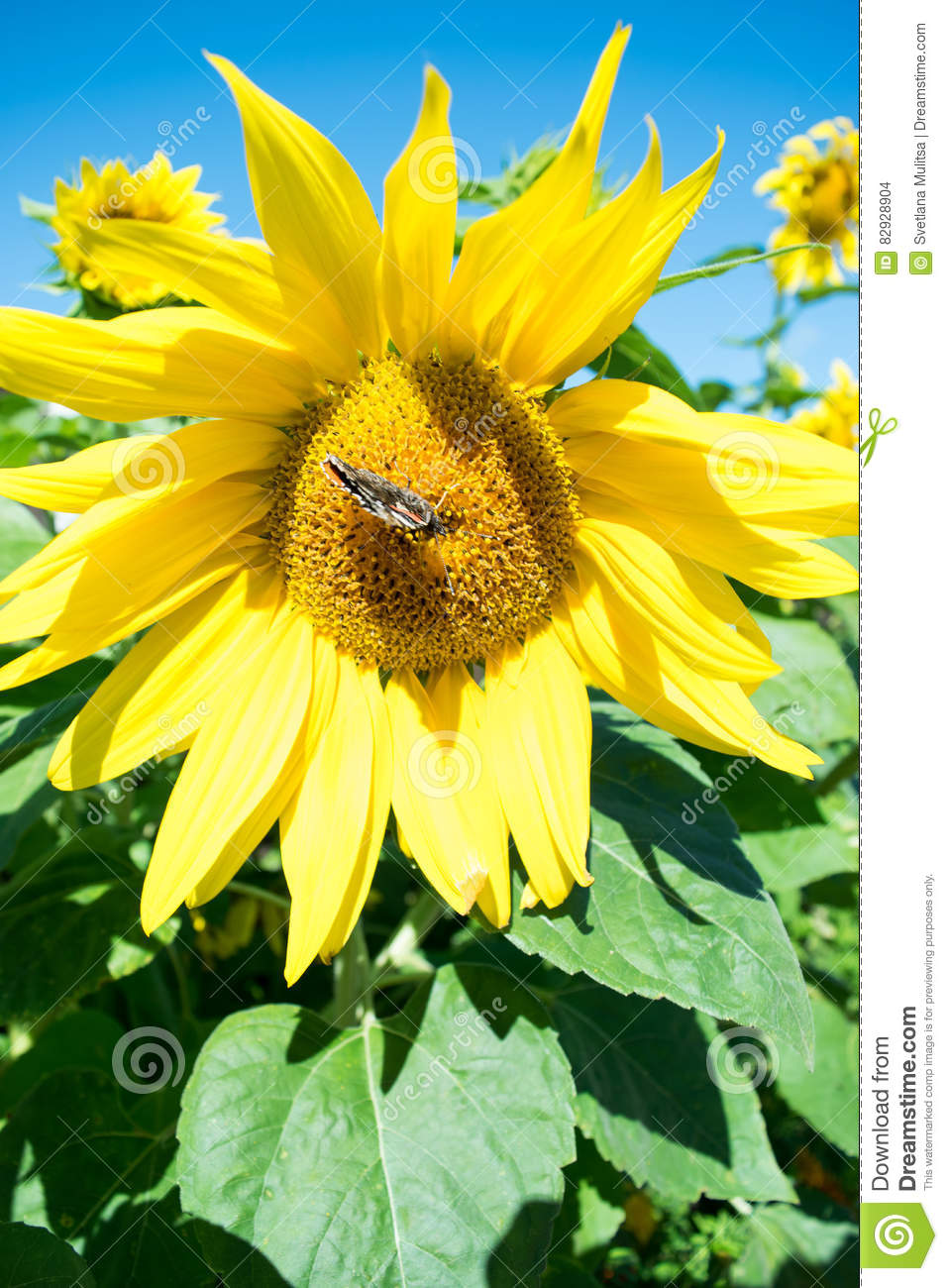 Butterfly and bright yellow blossoming sunflower