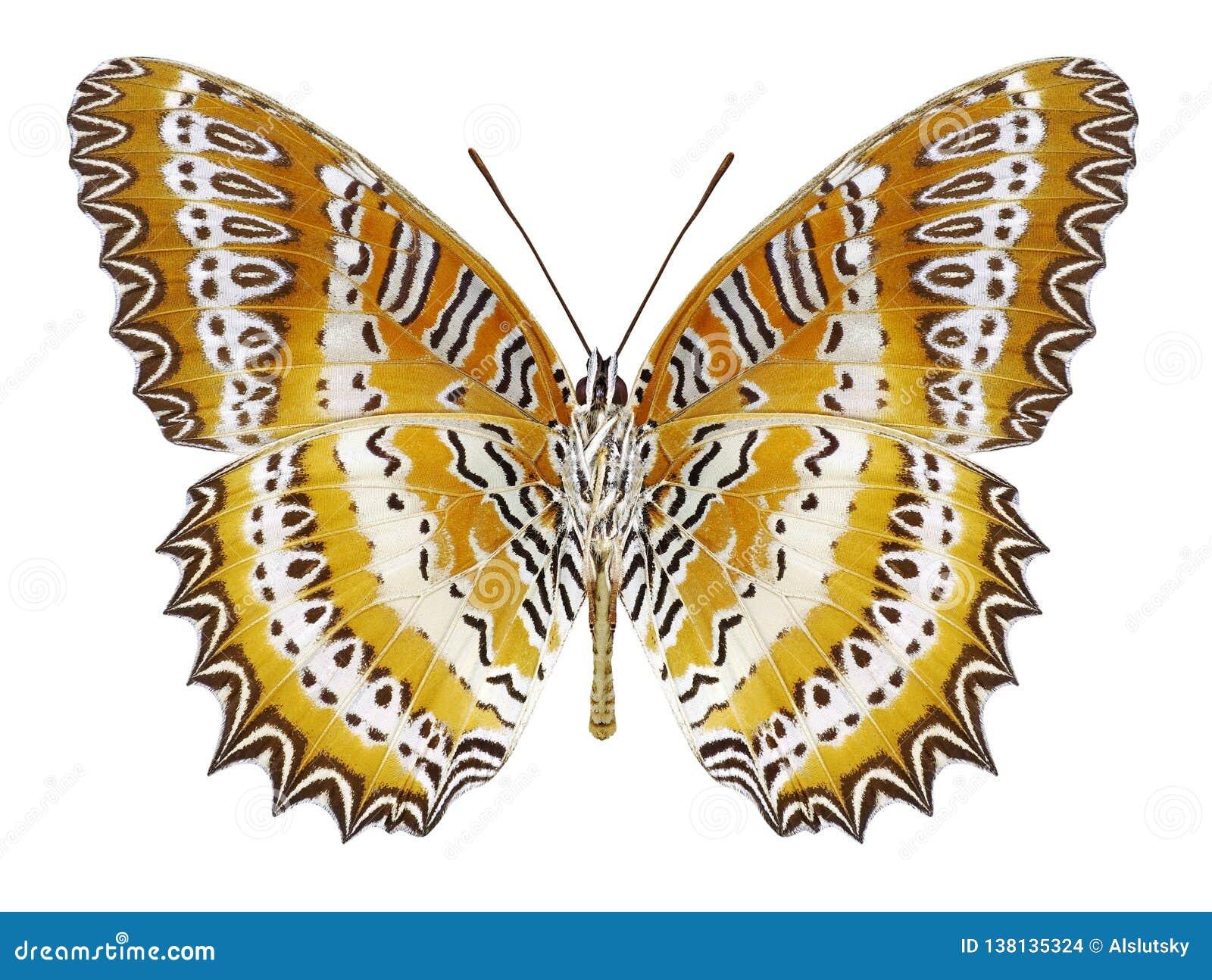 Butterfly Cethosia biblis underside