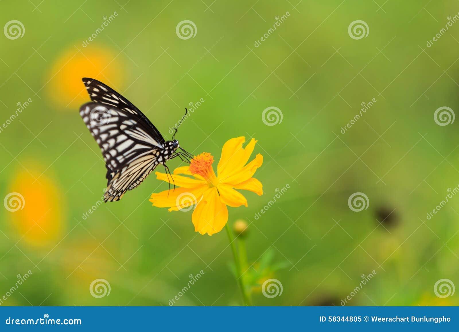 Tìm hiểu Bướm - Page 5 Butterfly-common-mime-chilasa-clytia-garden-58344805