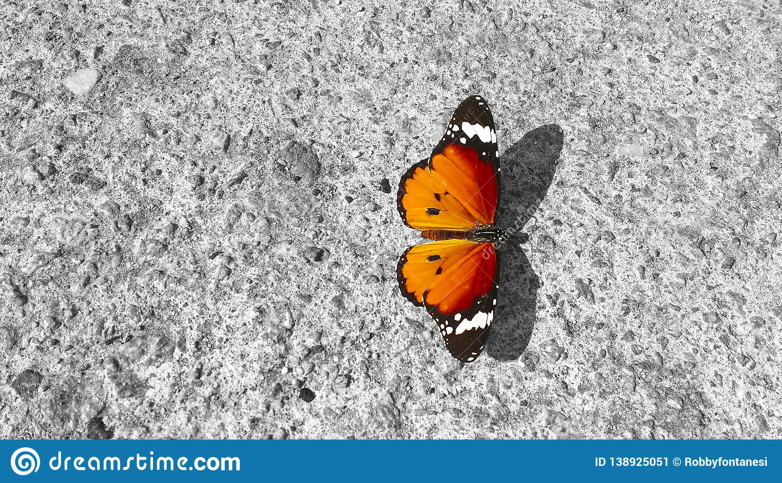A butterfly Danaus Chrysippus, Plain Tiger, resting on a concrete wall: its beauty and elegance in contrast to the roughness of