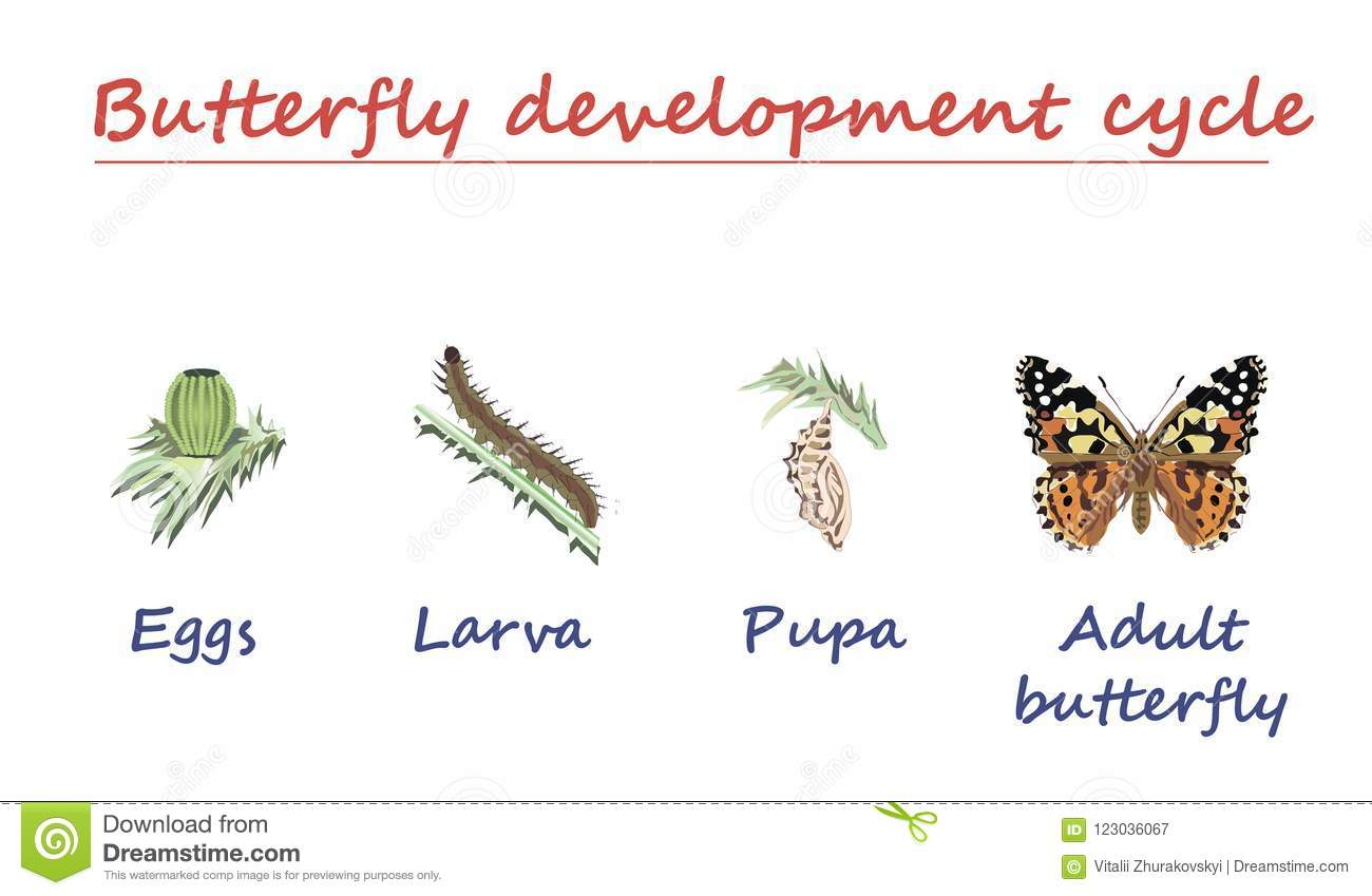 Monarch Butterfly Life Cycle Royalty