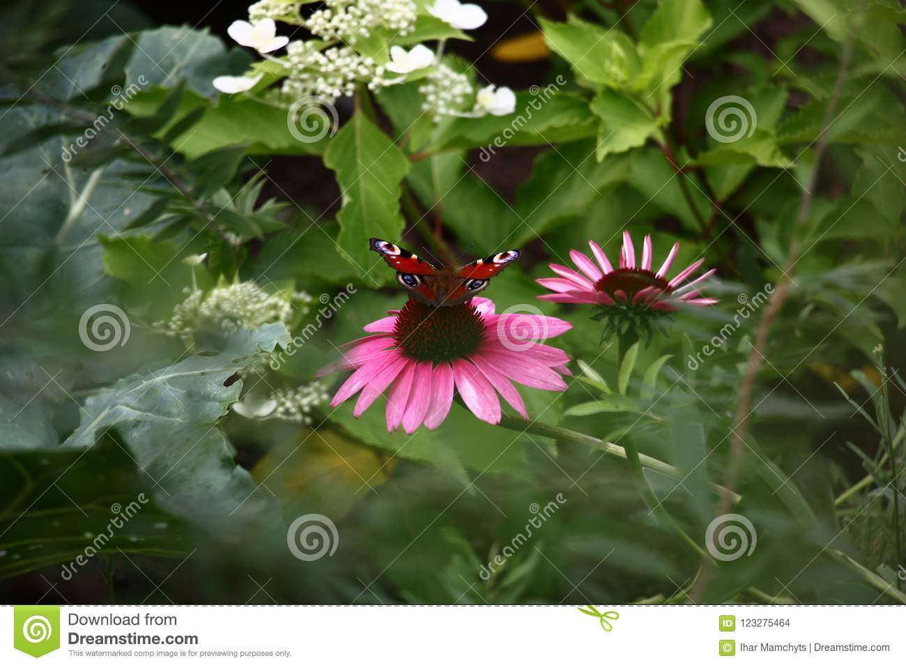 Butterfly and echinacea.