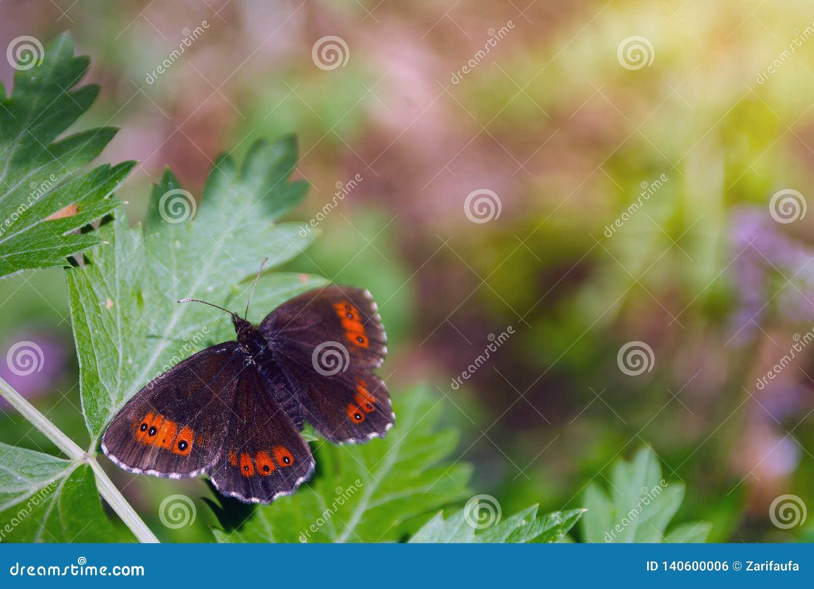 Butterfly erebia medusa woodland ringlet on green leaf