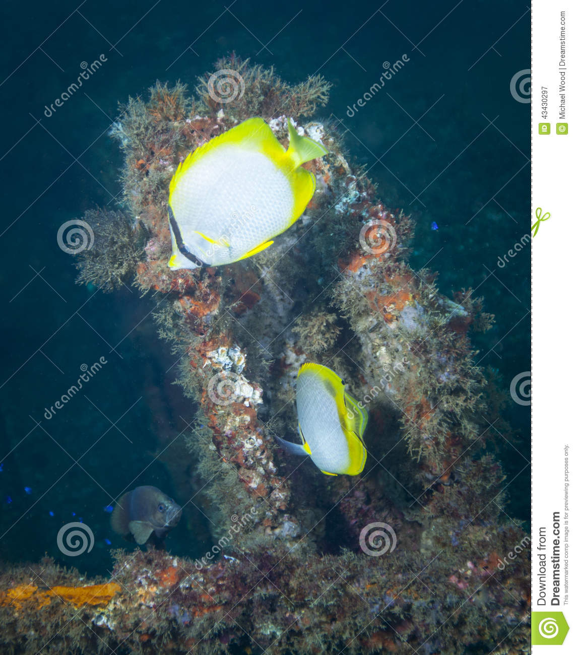 A pair of Butterfly Fish feed H Butterfly Fish