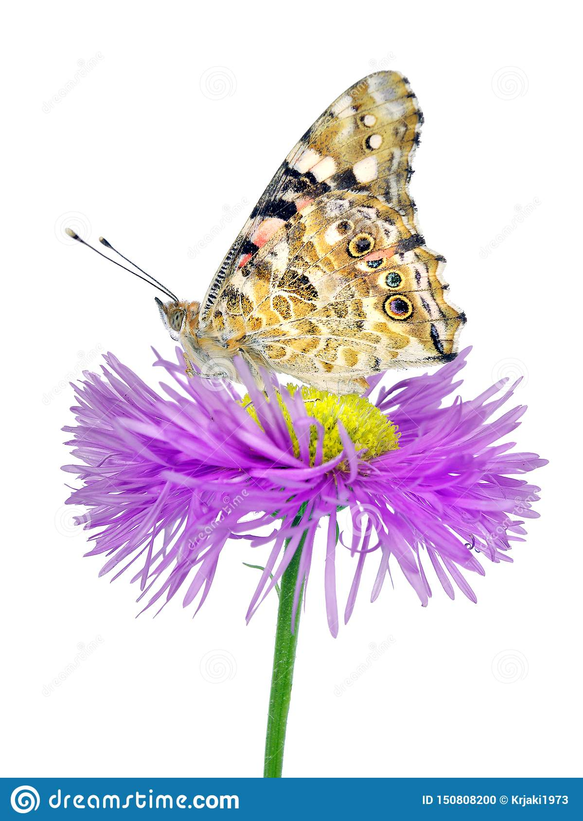 Butterfly on a flower. beautiful butterfly painted lady on flower isolated on a white.