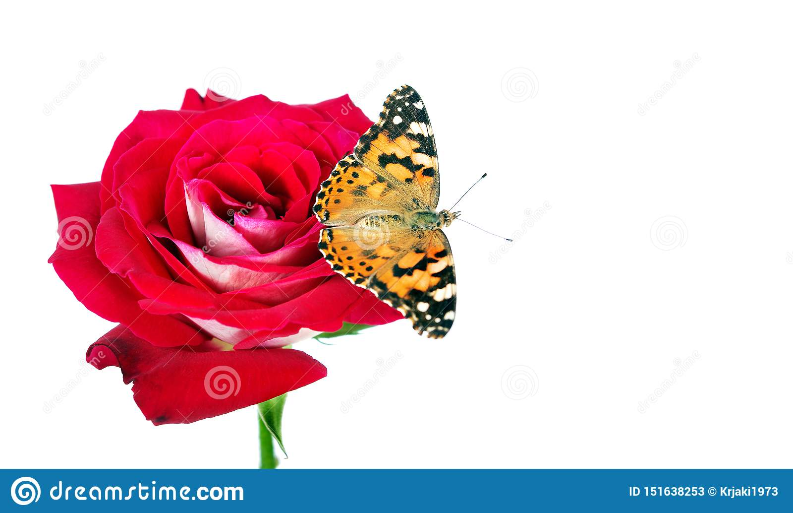 Butterfly on a flower. beautiful butterfly painted lady on flower isolated on a white. copy spaces. rose and butterfly