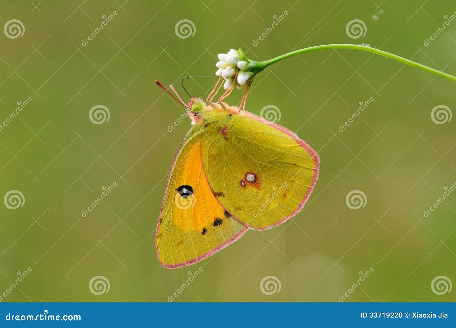 Butterfly on flower, Colias fieldii