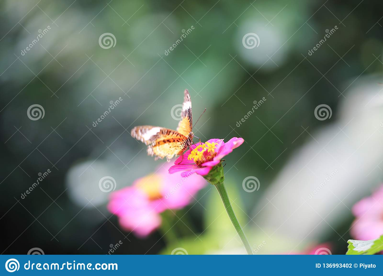 Butterfly fly in morning nature stock photography