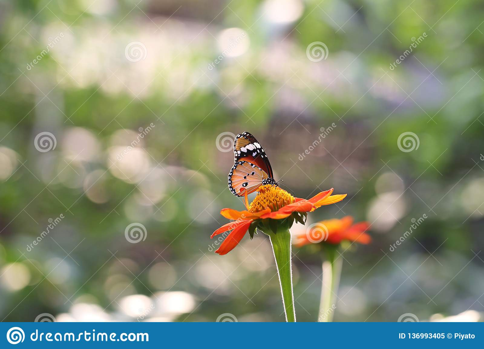 Butterfly fly in morning nature royalty free stock photo